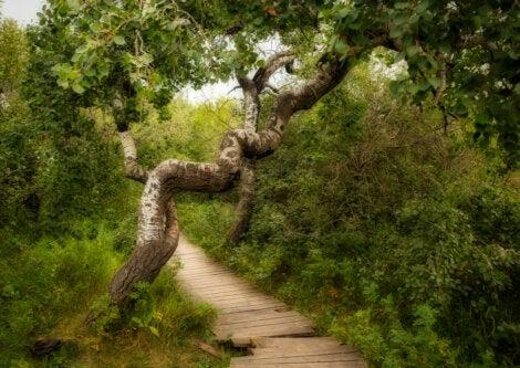 Un ejemplar de los extraños árboles torcidos de Hafford, en Canadá.
