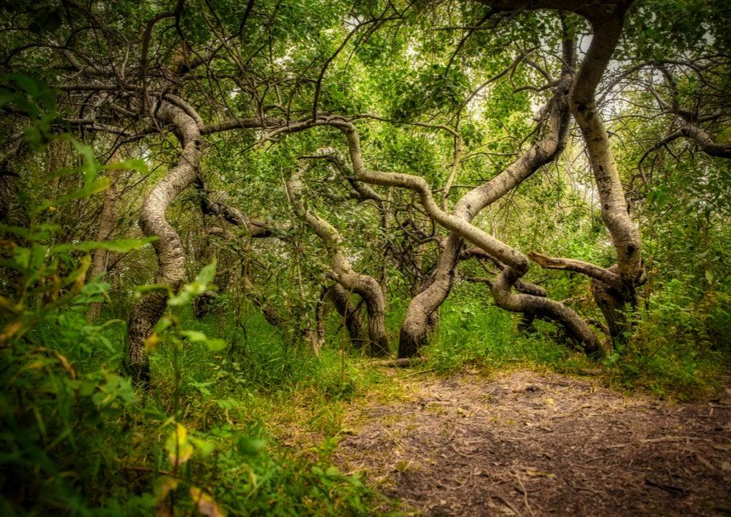 Los misteriosos árboles torcidos de Hafford en Canadá