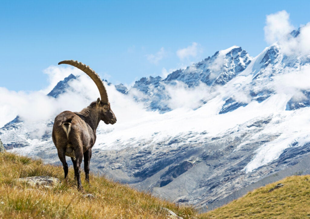 Un íbice en el Parque Nacional del Gran Paradiso en los Alpes Italianos.