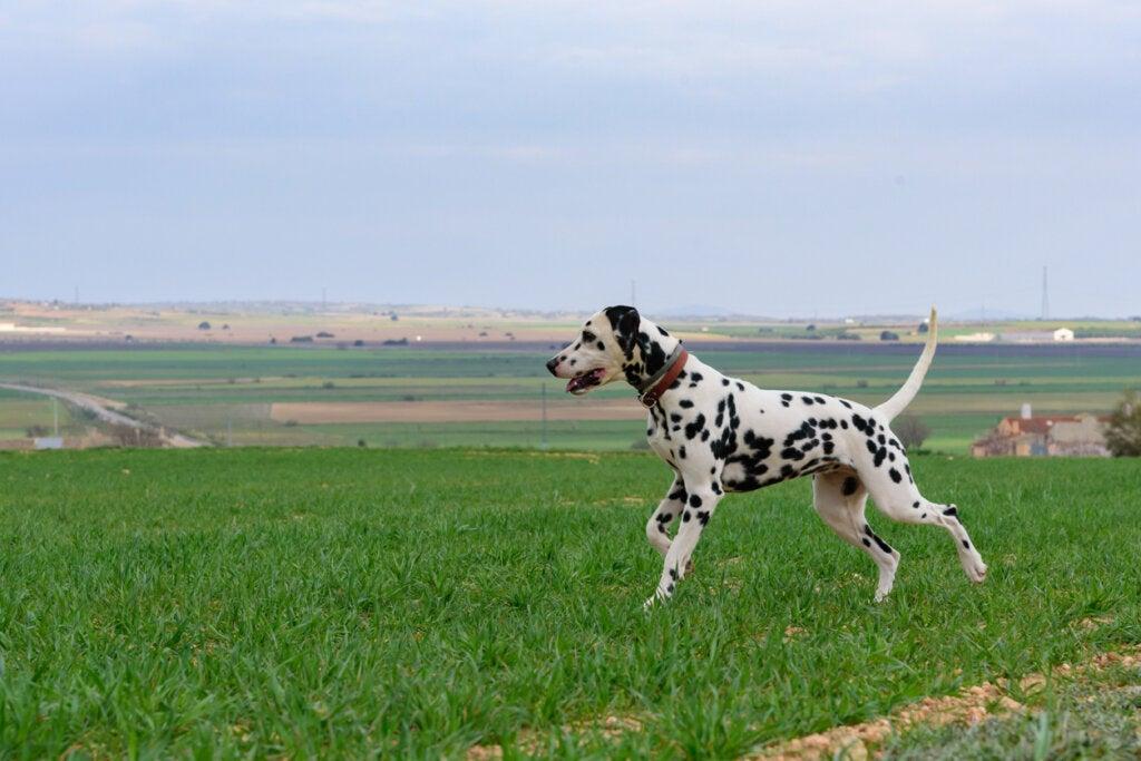 Los originales perros dálmatas son una de las curiosidades de Croacia.